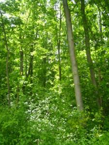 Roteichen-Baumholz mittlerer Stärke mit artenreichem Unterstand