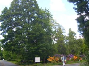 Von Fällung bedrohte dicke Bäume für eine Sichtbeziehung im Eingangsbereich
